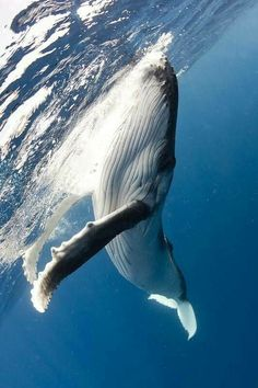 Blue whales are biggest mammals but eat the smallest animals krill. Blue whale baby's weigh 2 tons when born. They live to be 80 to 90 years of age. Orcas, Photo Animaliere, Zoom Photo, Save The Whales, Water Animals, Life Aquatic, Water Life, Ocean Creatures, Tier Fotos