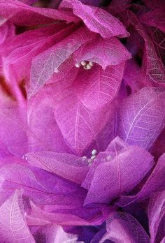 purple.quenalbertini: Radiant orchid leaves