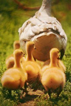 cute ducklings following mother duck