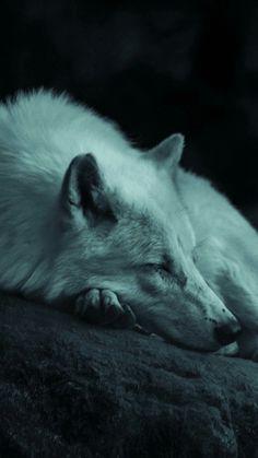 Wolf Love, Wolf Pictures, Wolf Photos, Wolf Spirit, My Spirit Animal, Beautiful Wolves, Animals Beautiful, Sleeping Wolf, Tier Wolf