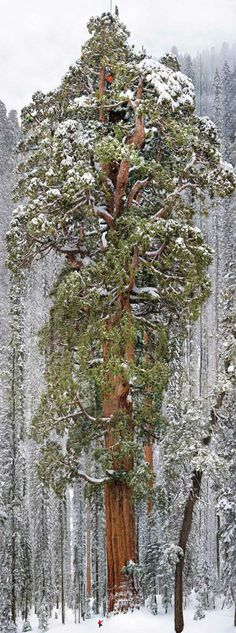The worlds second largest Tree.. see the 'tiny' person in a red jacket?