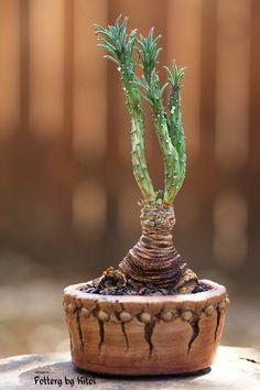 """Euphorbia duseimata 3"""" pot.  Plant, pot and photo by Keith Kitoi Taylor."""