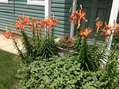Divide tiger lillies and move some to 11th St. garden