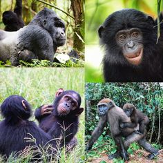 Discover the story of Africa's great apes, and their looming extinction. With bonobos, chimps and both gorilla species classified as either endangered or critically endangered, time is running out for some of our closest living relatives. Photos: Governor's Camp Collection, Billy Dodson, Sean Brogan, Martin Harvey