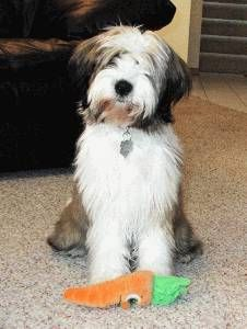 Adorable Tibetan Terrier! Wanna be friends with Lucy?
