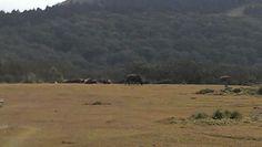 擎天崗上真的有牛,可是我只敢遠遠地看