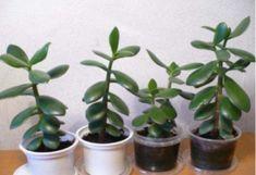 Container Gardening, Gardening Tips, Crassula Ovata, Pepper Plants, Jade Plants, Home Flowers, Garden Journal, Edible Garden, Herb Garden