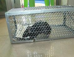 Para una forma fácil de capturar a matar ratas sin ellos, utilice la trampa de jaula para ratas de haopd, apto para uso interior y exterior, se puede utilizar en el hogar, en las granjas o en locales comerciales. seguro de usar donde los niños y mascotas son present. la trampa no...
