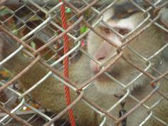 Een van de apen opgesloten in een kooi