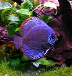 A  guide to setting up and maintaining these beautiful Amazon Chiclids in an attractive variety of aquariums.