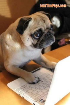 Since Join the Pugs bring the cuteness to Pug lovers all over the world. If you love Pugs. Pug Photos, Pug Pictures, Funny Dogs, Funny Animals, Cute Animals, Cute Pugs, Cute Puppies, Raza Pug, Amor Pug