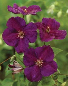 Clematis 'Jackmanii Superba' • Plants & Flowers • 99Roots.com...I have had this same Clematis for at least 15 years...