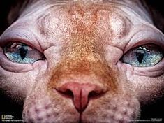 Bildresultat för fat naked cat