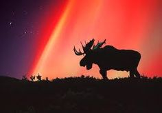 Aurora Borealis & Moose in Alaska Alaska Usa, Alaska Travel, Moose Silhouette, Animal Silhouette, Alaska Northern Lights, Moose Pictures, Bull Moose, Moose Meat, Travel Pictures