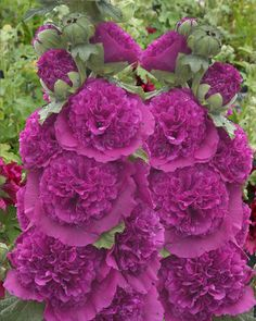 Alcea Rosea Seeds - CHATER'S PURPLE - Hollyhock - Double Blooms - 25 Seeds | Home & Garden, Yard, Garden & Outdoor Living, Plants, Seeds & Bulbs | eBay!