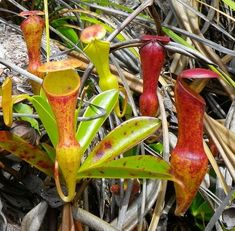 Nepenthes pervillei on the Seychelles Islands