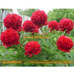 Rare Crimson Red Tree Peony Flower Seeds, 5 Seeds, light fragrant garden flowers for home decor-Land Miracle
