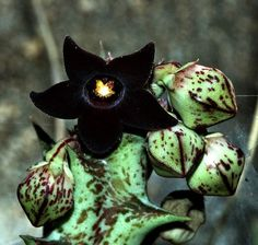 The Caralluma hesperidum plant has sprawling stems that are light green or greyish in colour, strikingly mottled with a reddish brown. The stems have relatively large toothed protuberances that also make the plant look attractive.The plants usually flower towards the end of summer. The flower is 5-lobed and star shaped. Blackish purple in colour and quite 'fleshy' looking. They are carried in clusters along the stems. The flowers are usually pollinated by flies attracted by the pungent odor