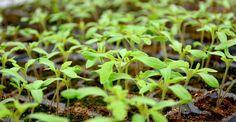 Secrete pentru răsaduri sănătoase | Paradis Verde Paradis, Home And Garden, Organic, Face, Gardening, Landscaping, Design, Farmhouse, Green