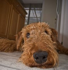 funny airedale picture