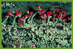 """""""Life at 10x and Beyond: Lichens, a LIverwort, a Microscope and Me..."""" lTrackerNews: Dot to Dot #microbiology Chicago Botanic Garden"""