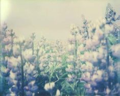 "Of the series ""Niceland"", 2017 ""Lupinus"" Ólafsfjörđur/Listhús, Iceland Polaroid Image & Impossible Film"
