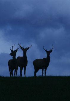 Exmoor red deer stags