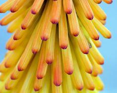 Flower Portrait #24 by Mark Interrante (aka pinhole), via Flickr hot poker flower