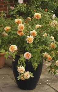 Roses - in containers - David Austin Roses - EU