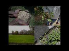 Medicinal Rice B4 Formulations for Genital Itching: Pankaj Oudhia's Medi...