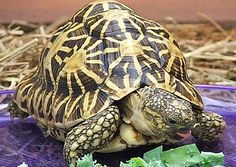 http://www.factzoo.com/reptiles/indian-star-tortoise-what-a-pretty-shell.html