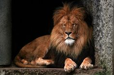 lion wild #animals