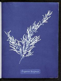 Anna Atkins (1799 - 1871)was an English botanist and photographer.