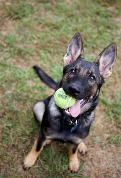 34 German Shepherd Puppy Pictures That Will Make Your Heart Melt I Love Dogs, Cute Dogs, Cute Puppies, Dogs And Puppies, Doggies, Sable German Shepherd, German Shepherd Puppies, German Shepherds, Baby Animals