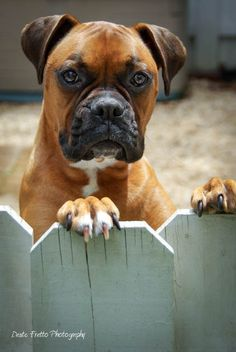 Handsome Kona boxer ♡... re-pin by StoneArtUSA.com ~ affordable custom pet memorials for everyone.  See DOGS and FENCES BOARD http://www.pinterest.com/stoneartusa/~-dogs-fences-~/
