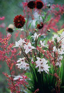 Combineer de Abessijnse gladiool eens met andere betoverende zomerbollen als de dieppaarse dahlia 'Arabian Night' of de rode dahlia 'Ellen Houston'.