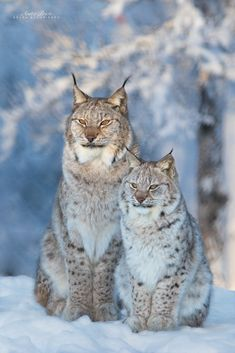 Nature Animals, Animals And Pets, Baby Animals, Cute Animals, Beautiful Cats, Animals Beautiful, Big Cats, Cute Cats, Lynx Du Canada