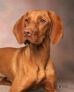 Vizsla I had one 38 years ago.  Someone took it out of my yard.  Beautiful dogs!