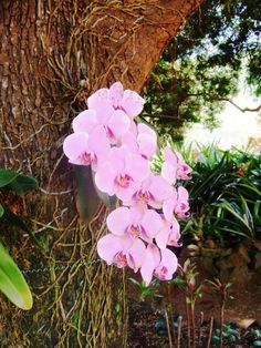 Orchids growing on tree in Allerton Tropical Gardens,Kauai