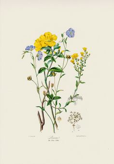 Flax Tribe Margins Not Shown but Intact from Original Vintage Hand Colored F., The Flax Tribe Margins Not Shown but Intact from Original Vintage Hand Colored F., The Flax Tribe Margins Not Shown but Intact from Original Vintage Hand Colored F. Vintage Flower Prints, Vintage Botanical Prints, Botanical Drawings, Vintage Flowers, Daisy Flowers, Bouquet Flowers, Black Flowers, Fall Flowers, Pretty Flowers