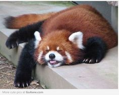 Red Panda is a Happy Napper