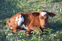 Longhorn Cattle for Sale | herd v3c smokin dustdevil bull for sale $ 1000 sold