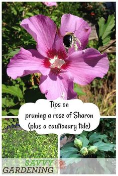 Learn the best time of year for pruning a rose of Sharon and heed this cautionary tale about when to get rid of the seed pods. Rose Of Sharon Tree, Pruning Roses, Tree Pruning, Plant Diseases, Fall Vegetables, Vegetable Garden Design, Vegetable Gardening, Easy Garden, Garden Tips