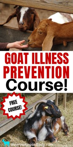 Free eCourse For Goats, Goat Care Course, Raising Goats For Beginners, Homestead Help For Beginners, Self Sufficiency Trimming Goat Hooves, Female Goat, Goat Pen, Happy Goat, Goat Care, Nigerian Dwarf Goats, Raising Goats, Best Pet Insurance, Goat Farming