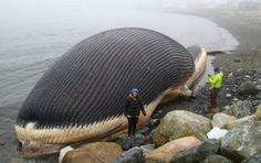 Unfortunate death of a giant whale in Canada! 🐋😭 This poor whale washed up in Trout River, Newfoundland! This was taken in 2014 but I… Largest Animal On Earth, Creepy, Big Whale, Big Sea, Large Animals, Animals Of The World, Newfoundland, Sea Creatures, Whales