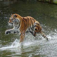 Der Tiger, der über das Wasser lief