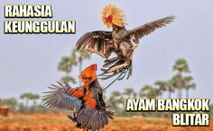 ayam bangkok blitar Game Fowl, Live Casino, Bangkok, Rooster, Fine Art, Bird, Animals, Roosters, Animales