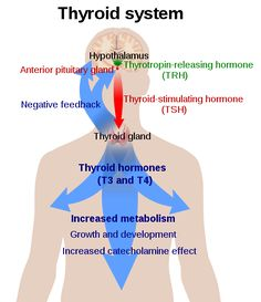 Iodine: Today I want to talk about a super important trace mineral: iodine.  Iodine is critical for the health of your thyroid, and therefore the health of the whole body. The thyroid is a tiny gland in the throat that has the big job of coordinating your metabolism. Two key hormones it produces (T3 and T4 in the diagram below) contain iodine. If you become deficient, you run the risk of all sorts of disorders from hypothyroidism to hyperthyroidism to goiter.