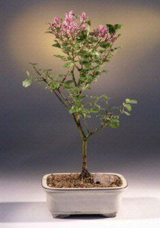 Dwarf Korean Lilac Bonsai Tree syringa palabiniana -- Details can be found by clicking on the image.