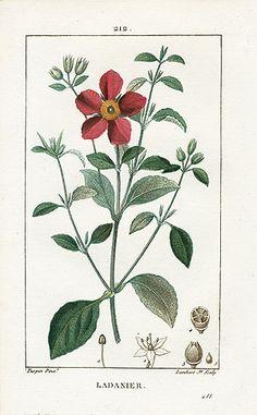 Cistus ladanifer - P. J.F. Turpin Botanical Prints 1815